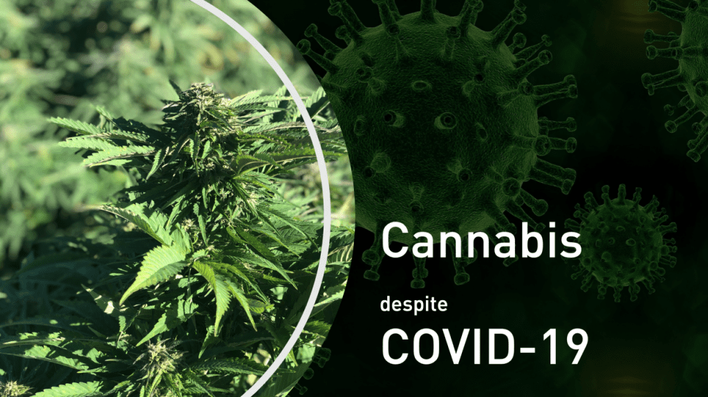 Strong demand for cannabis seeds and clones despite COVID-19