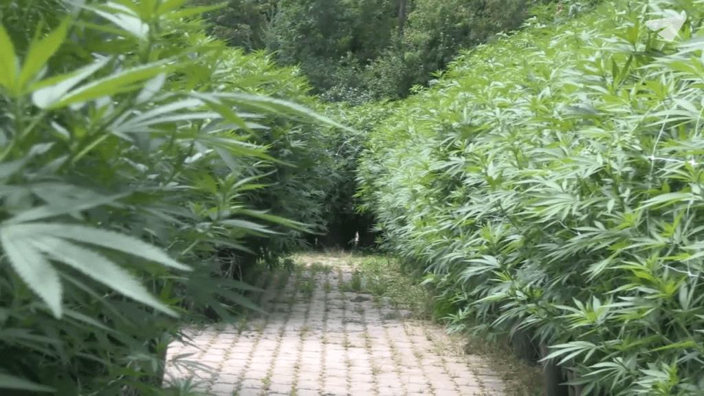 Grösste Cannabispflanze der Schweiz bringt zwei Kilogramm CBD