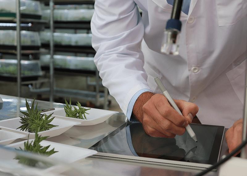 Parlament für PilotprojekteGrünes Licht für Cannabis-Versuche: Bund lässt bereits Hanfsorten testen